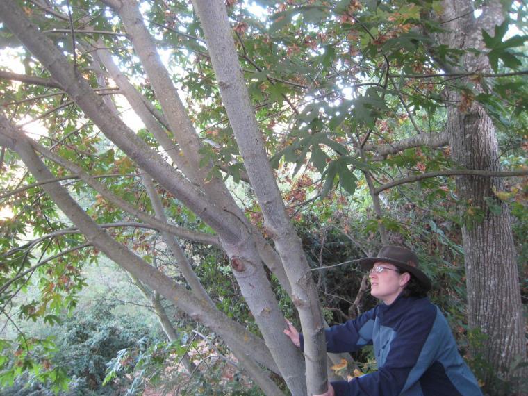 Melissa_tree
